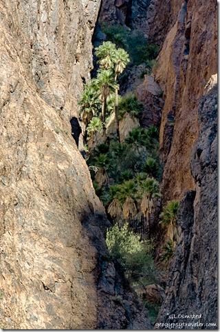 California Palms light Palm Canyon Trail Kofa NWR Arizona