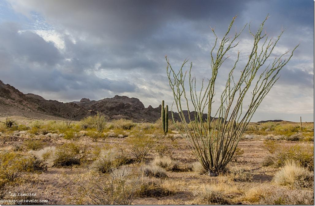Ocotillo Saguaro Sonoran Desert Tank Mountains South view cloudy sunrise King Valley Kofa National Wildlife Refuge Arizona
