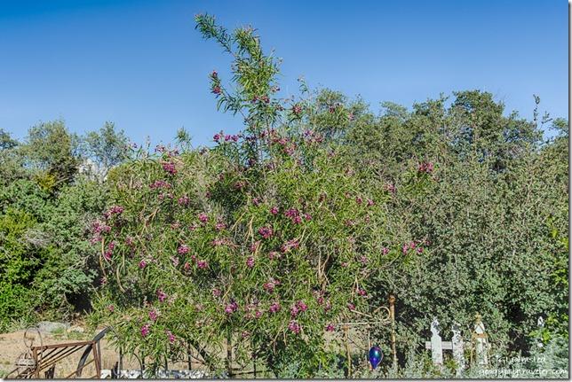 Ringed Bark Cypress