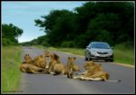 Lions on the road at Kruger National Park