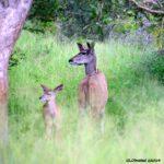 Pairs of Kudu at Kruger National Park