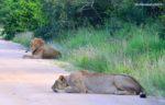 Lions mating Kruger National Park