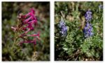 Big Basin wildflowers