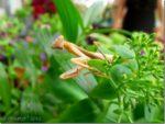 Chinese Mantis in Arizona